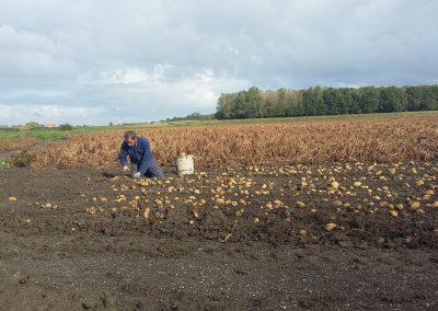 onze boerderij hoeken aardappelen uitdoen